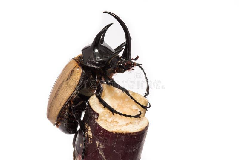 Gehörnter Käfer fünf stockfotos