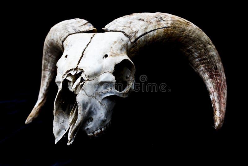 Gehörnter Ram Sheep Skull Head On-Schwarz-Hintergrund lizenzfreie stockbilder