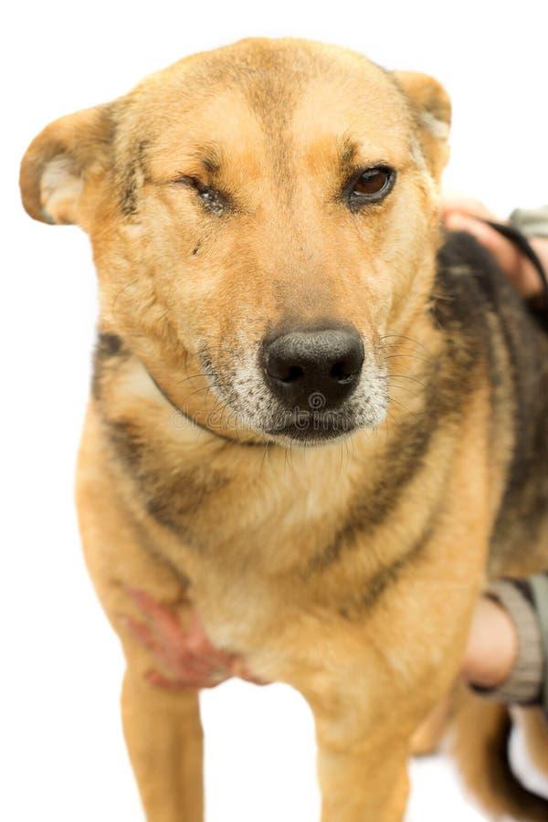 Gehandicapte hond stock fotografie