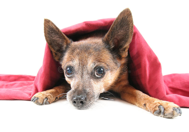 Geheime hond stock fotografie