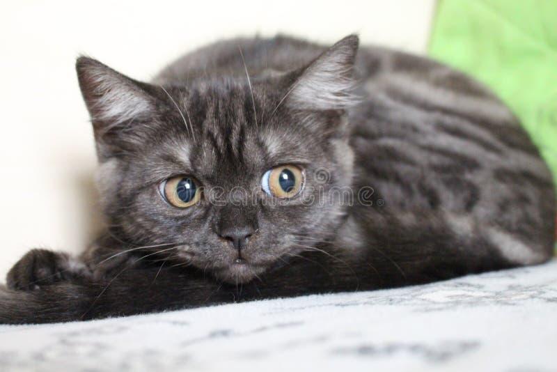Geheimzinnig kijk van een kat van ras Britten stock foto