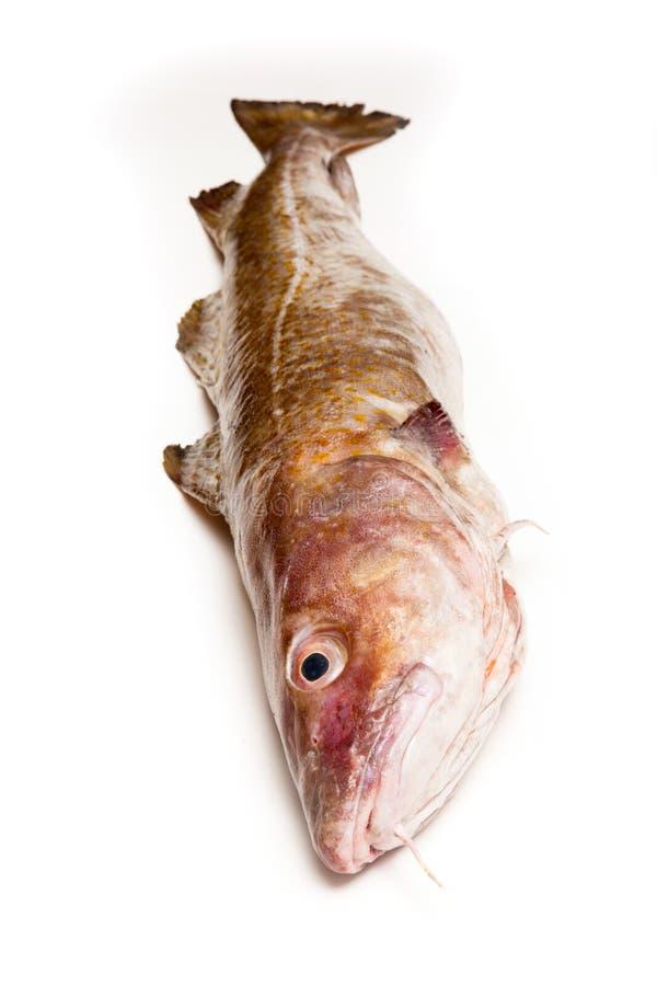 Gehele Atlantische die kabeljauw (Gadus-morhua) vissen, op een witte nagel worden geïsoleerd royalty-vrije stock foto's