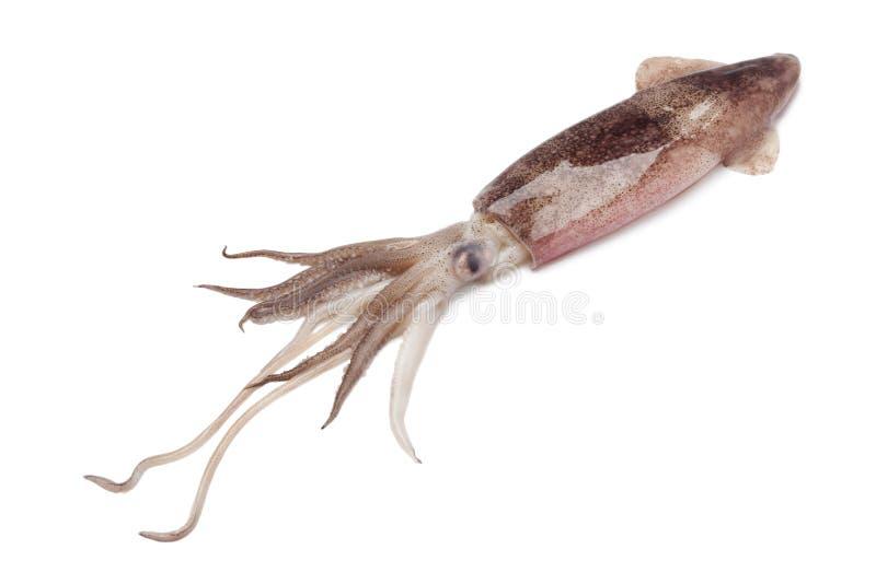 Gehele enige ruwe calamari stock afbeeldingen