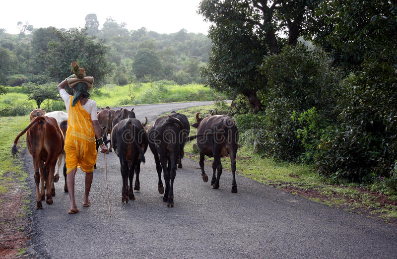 Gehen das Vieh lizenzfreies stockfoto