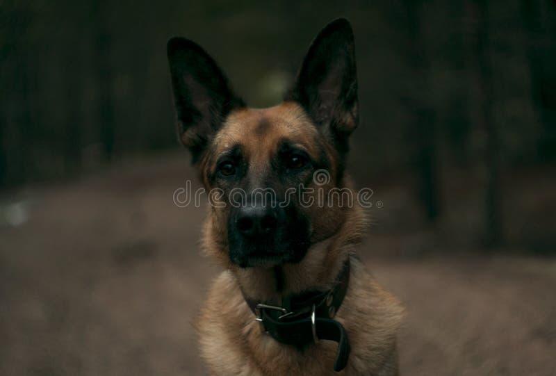 Gehen der Hund durch das Holz lizenzfreies stockfoto