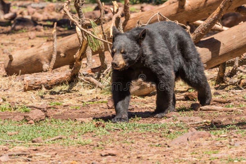 Gehen des schwarzen Bären stockbilder