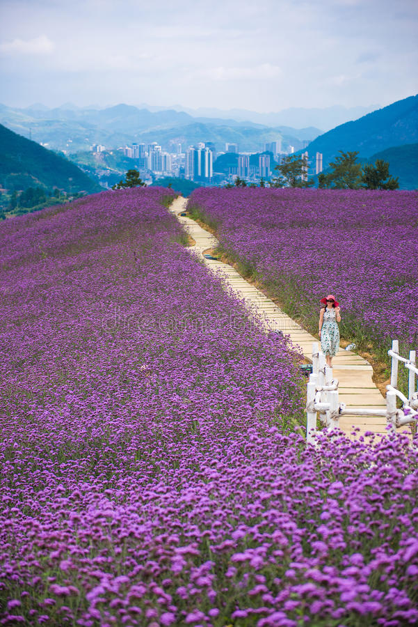 Gehen in Lavendel-Feld-Park stockfotografie