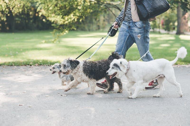 Gehen mit Hunden im Park stockbild