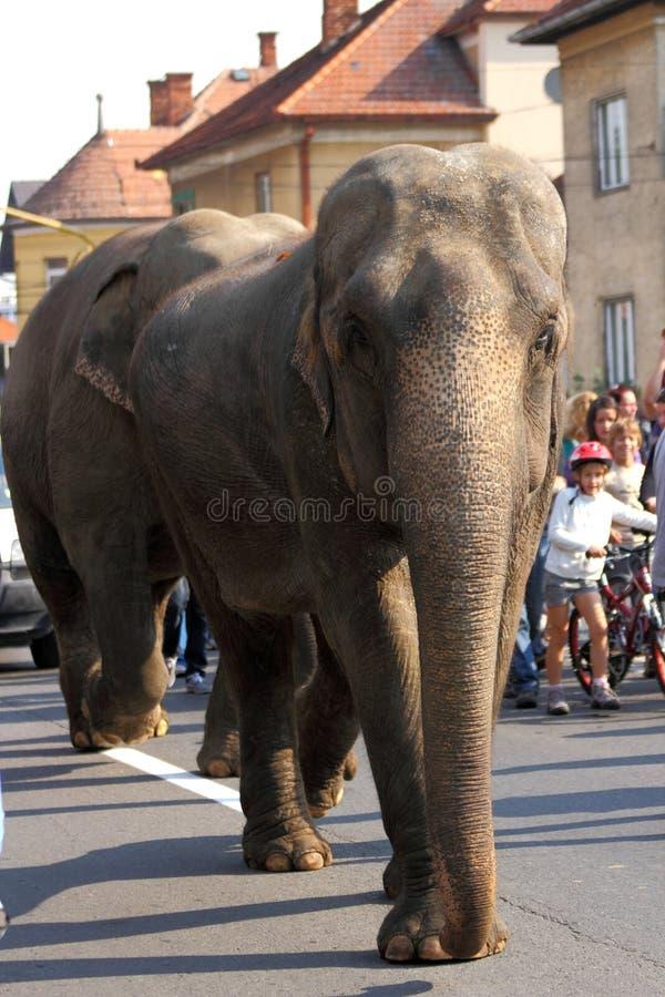 Gehen mit zwei Elefanten stockbilder