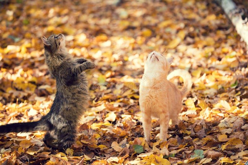 Gehen mit zwei Katzen im Freien auf den gefallenen Blättern stockfotos