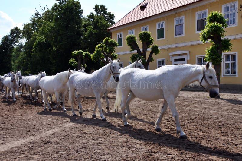 Gehen Sie zu den beständigen weißen Pferden zurück lizenzfreies stockfoto