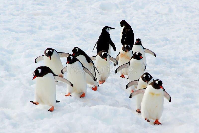 Gehende Gentoo-Pinguine stockfotos