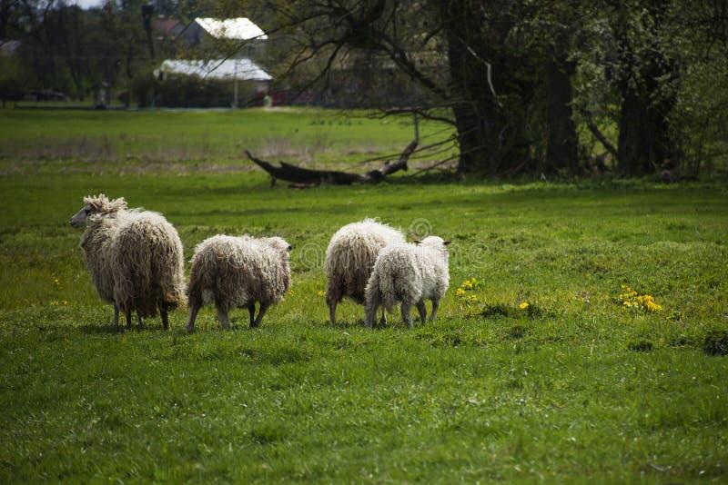 Gehende Herde von Schafen entlang grünem Feld lizenzfreie stockfotos