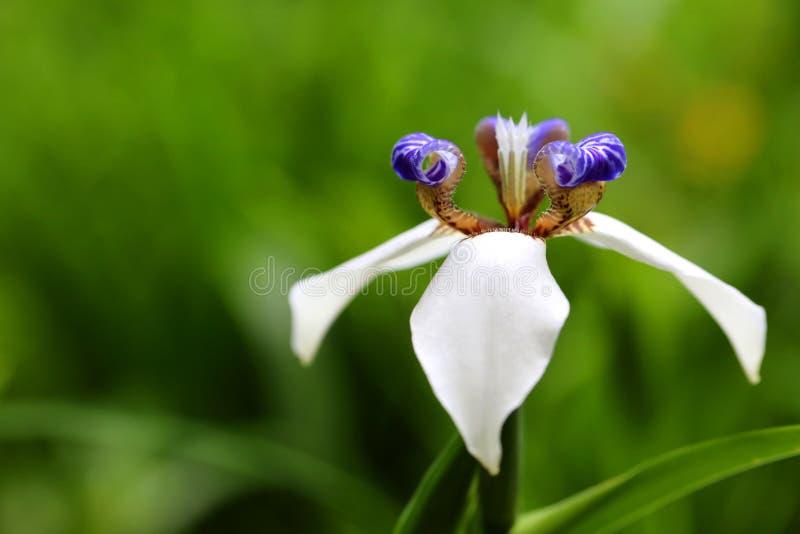 Gehende Iris Flower lizenzfreie stockfotografie