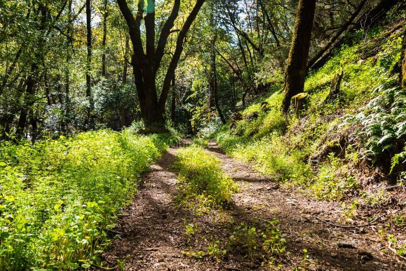 Gehende Spur durch die Wälder von Park Uvas Canyon County, grüner Bergmann \ 's-Kopfsalat, der den Boden, Santa Clara County umfa stockfotografie