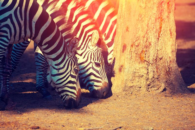 Gehende Zebras im Zoo nahe Tel Aviv lizenzfreies stockfoto