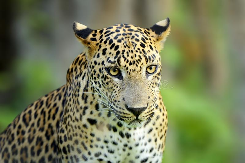 Gehender Leopard Sri Lankan, große beschmutzte Wildkatze, die im Na liegt lizenzfreies stockfoto