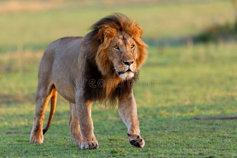 Gehender Lion Mohican auf Masai Mara lizenzfreie stockfotos