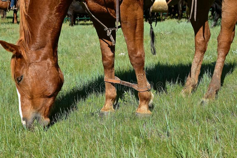 Gehinktes Pferd während einer Zusammenfassung und eines Brandings lizenzfreie stockfotos