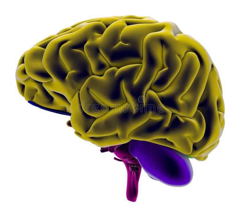 Gehirn, Abschnitt, Abteilung, Teile Schneiden, Anatomiestudie Stock ...