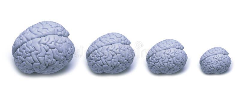 Gehirn-Größe stockbilder