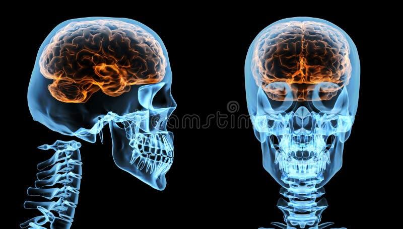 Gehirn innerhalb des Schädels stock abbildung
