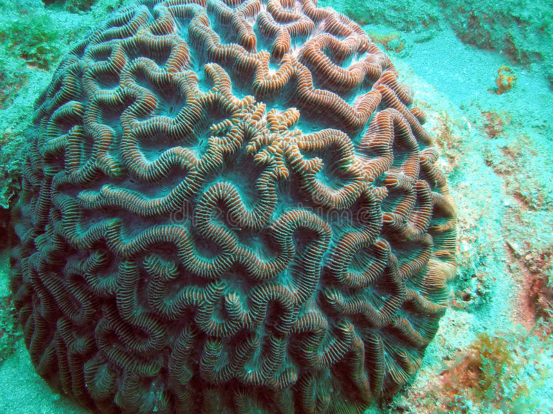 Gehirn-Koralle lizenzfreie stockbilder