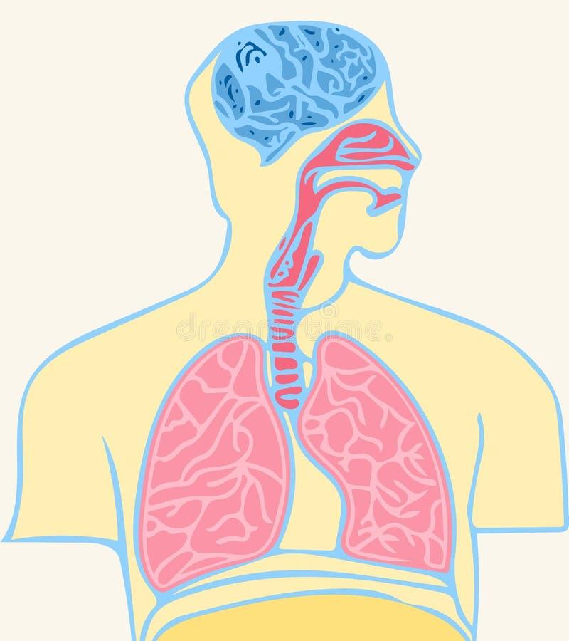 Gehirn und Lungen lizenzfreie abbildung
