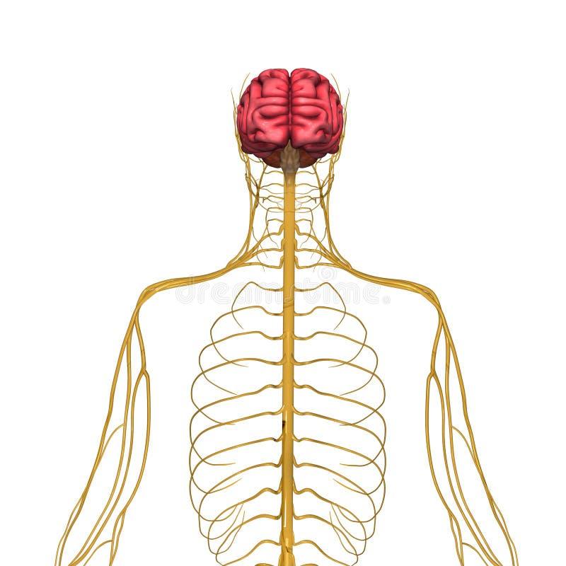 Gehirn und Nervensystem stock abbildung. Illustration von karosserie ...