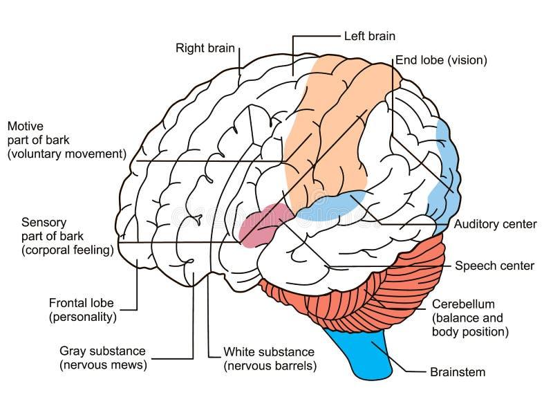 Gehirn unterteilt Diagramm stock abbildung. Illustration von ...