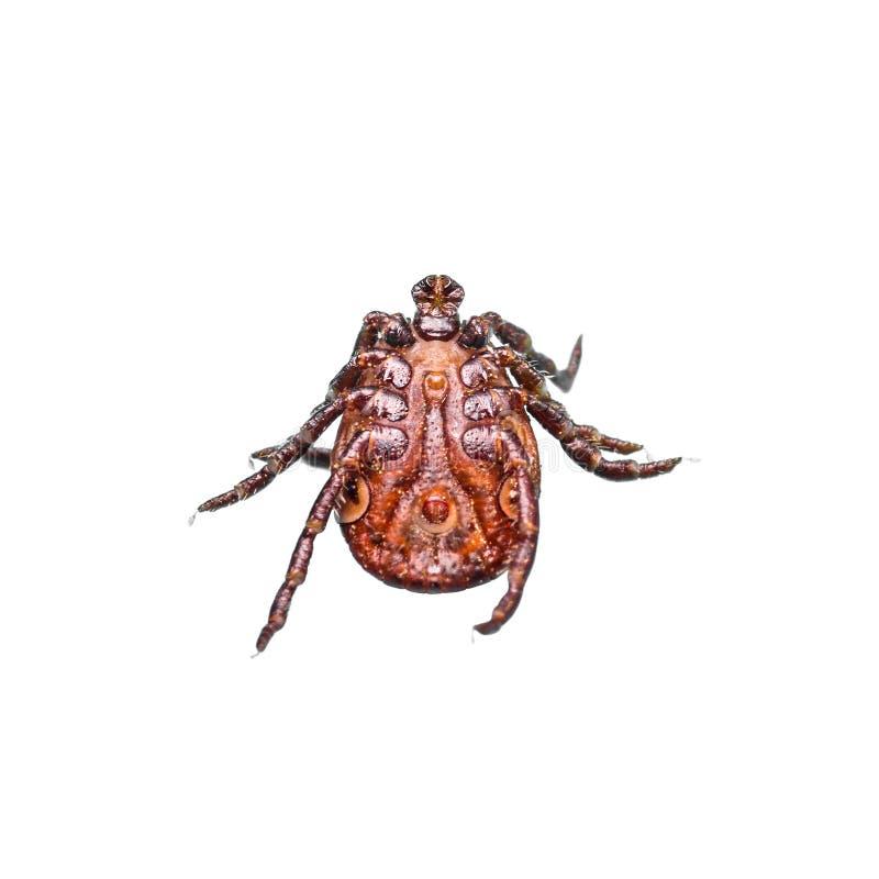 Gehirnentz?ndung oder Lyme Virus angesteckter Tick Insect Isolated auf Wei? lizenzfreie stockfotos