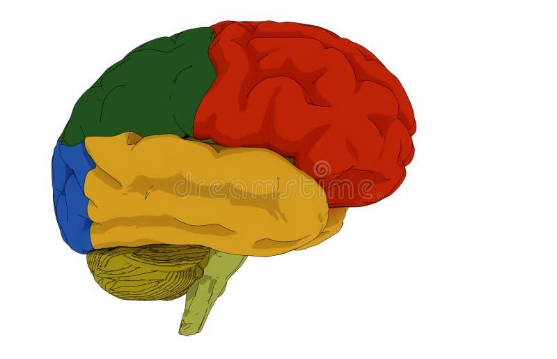 Gehirnillustration und farbige Bereiche stock abbildung