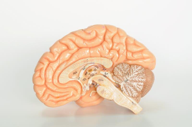 Gehirnmenschenanatomie stockfoto