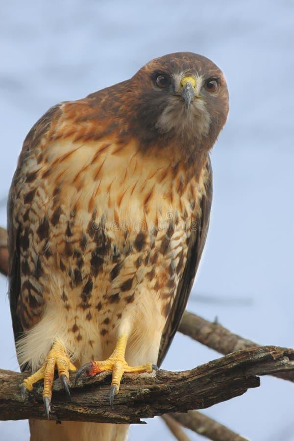 Gehockter Rot-angebundener Falke stockbilder