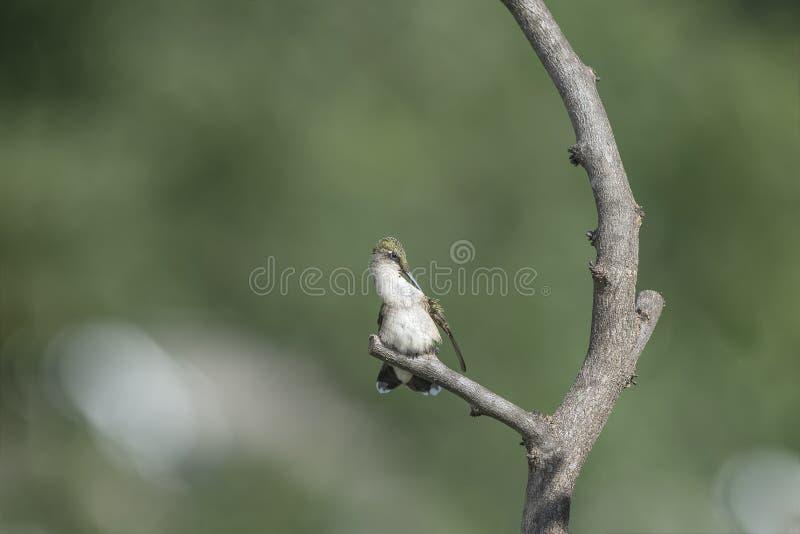 Gehockter und putzender Kolibri lizenzfreies stockfoto