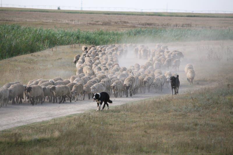 Gehoorde schapen stock foto
