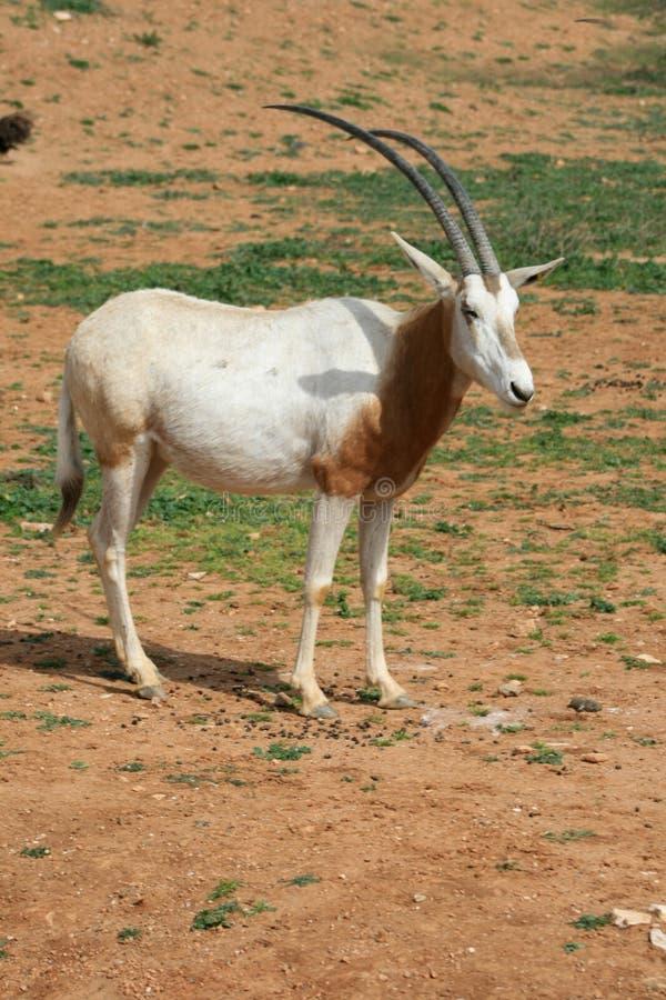 Gehoornde oryx van het kromzwaard - Afrikaans savvanahdier royalty-vrije stock foto