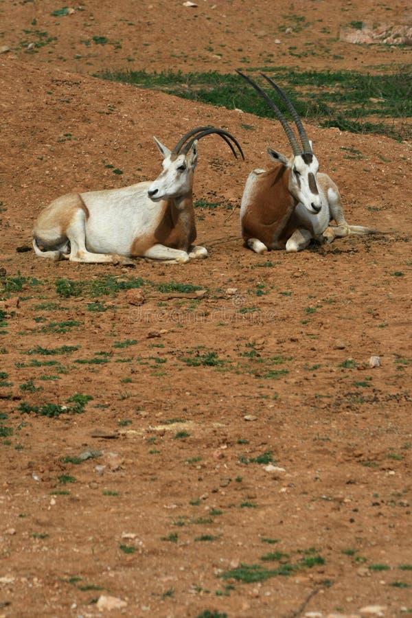 Gehoornde oryx van het kromzwaard - Afrikaans savvanahdier stock afbeelding