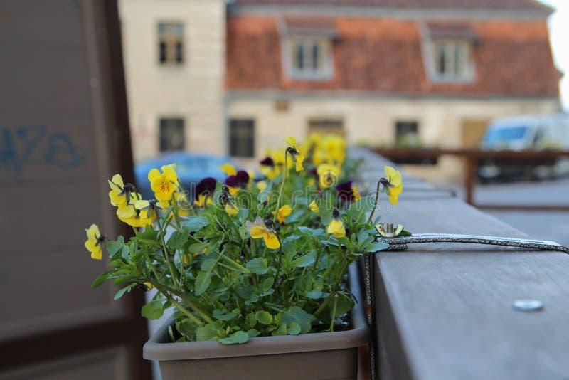 Gehoornde pansies royalty-vrije stock afbeelding