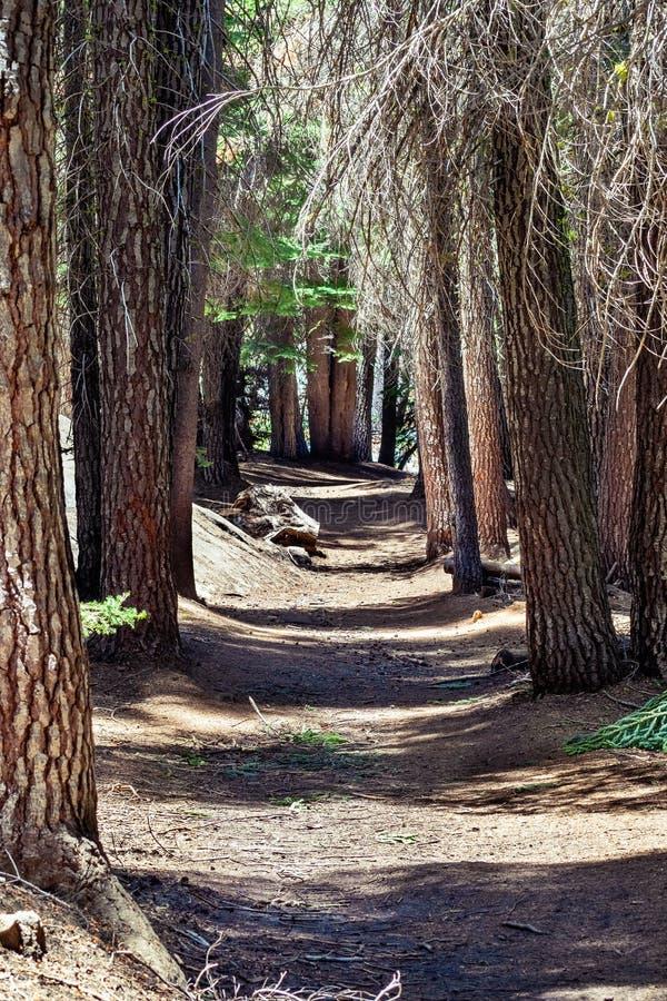 Gehweg durch einen Kiefernwald, Yosemite Nationalpark, Sierra Nevada -Berge, Kalifornien stockbilder