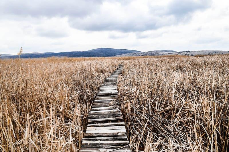 Gehweg im Bett des trockenen allgemeinen Schilfs im Sumpf in einer Reserve der wild lebenden Tiere lizenzfreies stockbild