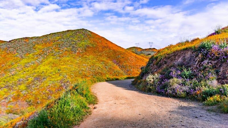 Gehweg in Walker Canyon während des superbloom, Kalifornien-Mohnblumen, welche die Gebirgstäler und die Kanten, See Elsinore bede stockfoto