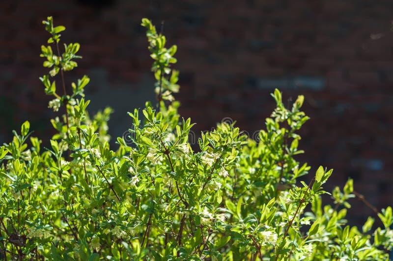 Geißblatt blüht Frühling Sibirien-Sonne stockfotos