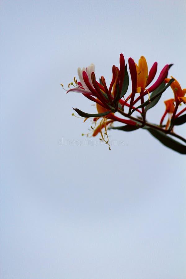 Geißblatt im hellen blauen Himmel stockfotos