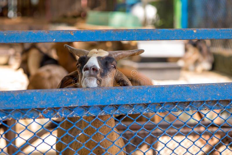 Geißbock, der über einem Zaun schaut lizenzfreie stockfotos