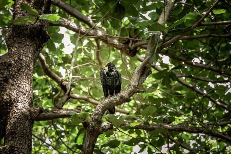 Geier in den Bäumen lizenzfreie stockfotos