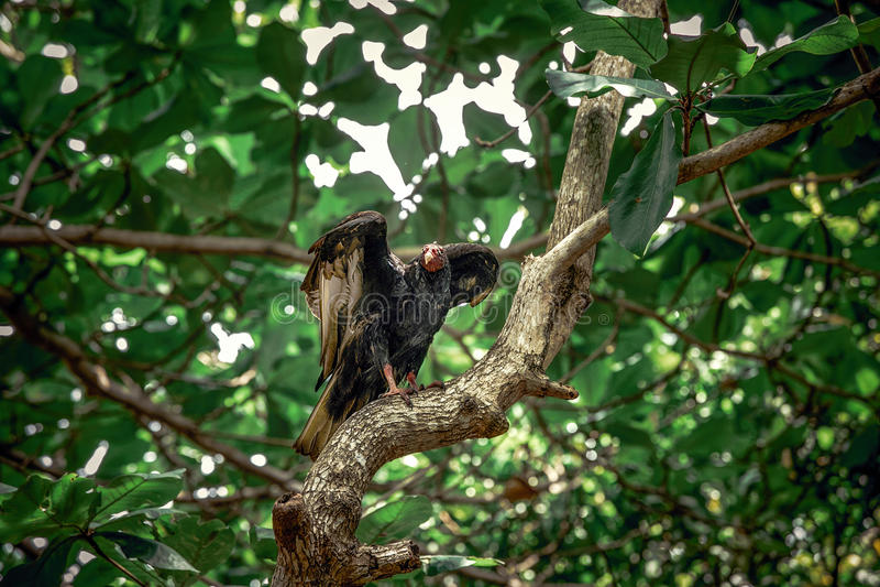 Geier in den Bäumen stockbild
