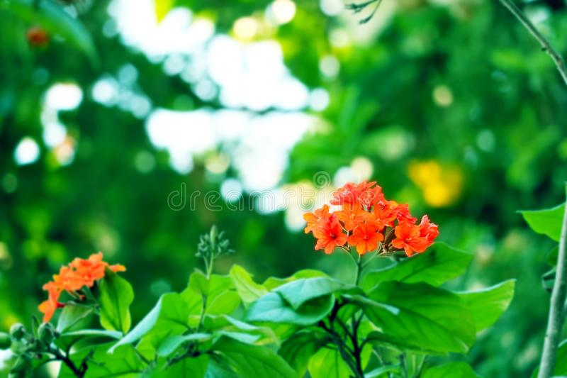 Geiger tree or cordia has red orange flowers and green garden stock images