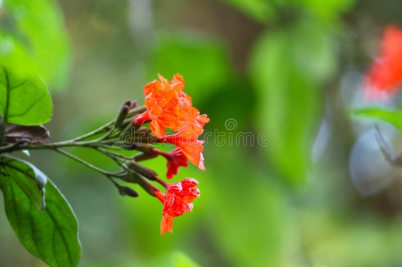 Geiger tree or cordia has red orange flowers and green garden. Background, beautiful stock photography