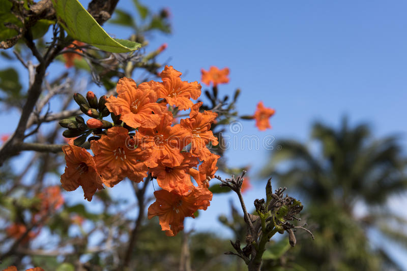 Geiger Tree. On an island key in southern Florida royalty free stock photos